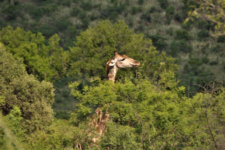 Giraffe looks out from the trees in the bush Banco de Imagens - 152481612