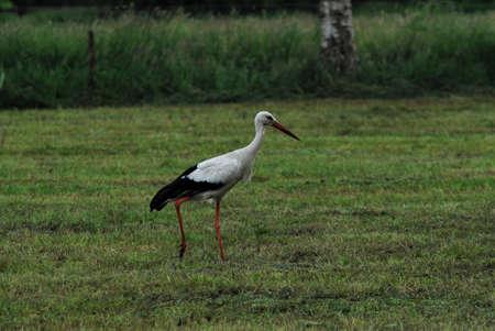 A white storck on a mown pasture Banco de Imagens - 152436479