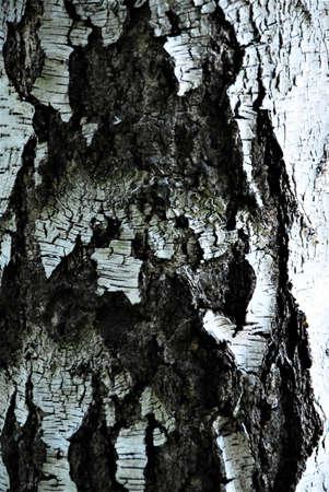 A birch trunk as a close up
