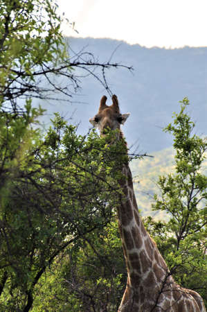 Giraffe looks out from the trees in the bush