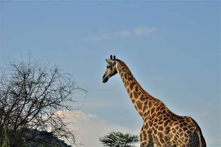 Giraffe besides a thorn tree against a blue sky