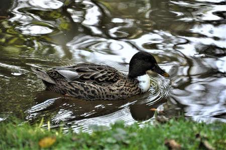 Female mallard duck swims on a lake Banco de Imagens - 152492227