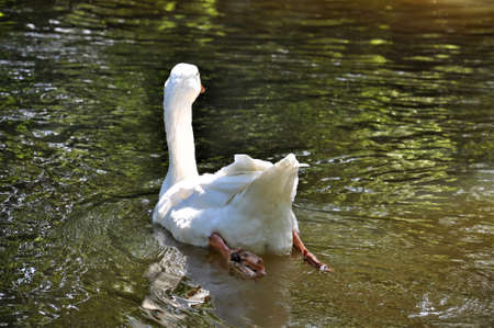Rear view of white goose on the lake