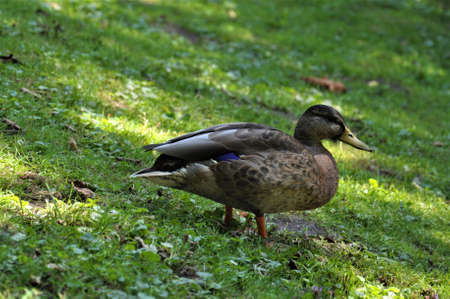 Female mallard standing in the grass besides a lake Banco de Imagens - 152493115