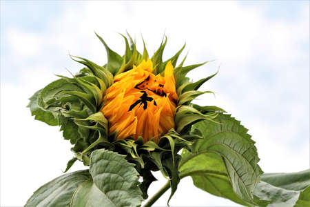 Sunflower,just opening wit green leaves against a cloudy sky