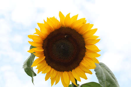 Sunflower with green leaves against a bright sky Banco de Imagens - 152598328