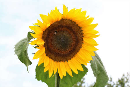 Sunflower with green leaves against a bright sky