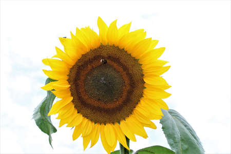 Sunflower with green leaves against a bright sky Banco de Imagens - 152797647
