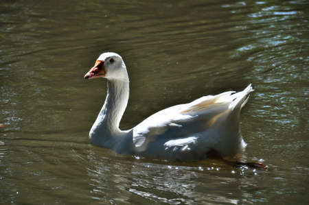 A white goose swims on the lake
