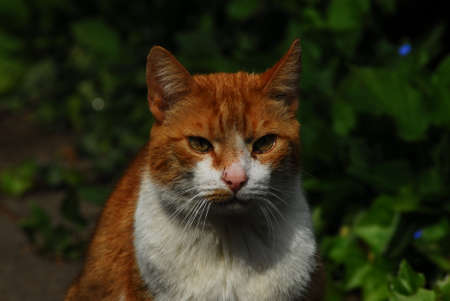 A red cat with a white breast sitting in the sunshine