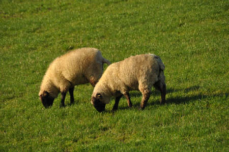 Two white sheep grazing on a dike