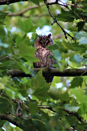 Long-eared owl sits on a branch in a plantane Banco de Imagens - 152847028