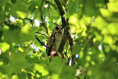 Long-eared owl sits on a branch in a plantane