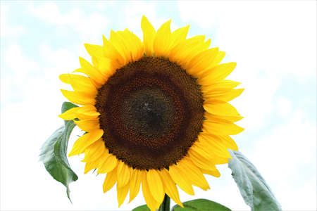 Sunflower with green leaves against a light background Banco de Imagens
