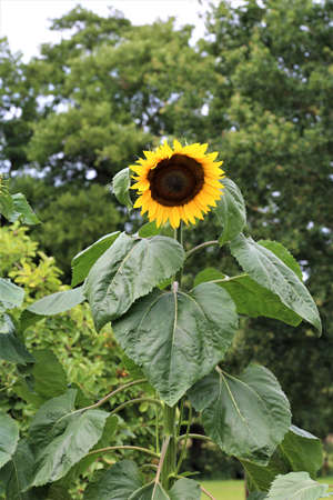 Sunflower,just opening with green leaves against a green background