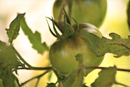 Green tomato on the bush as a close-up