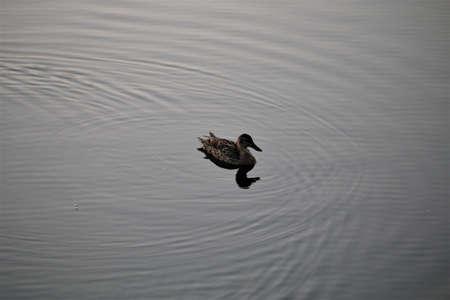 A duck during sunset swimming on a lake