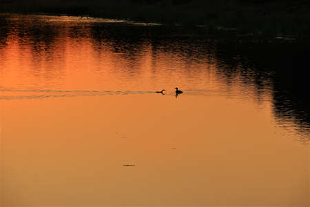 Two ducks during sunset at a lake with trees on the bank of the lake Banco de Imagens