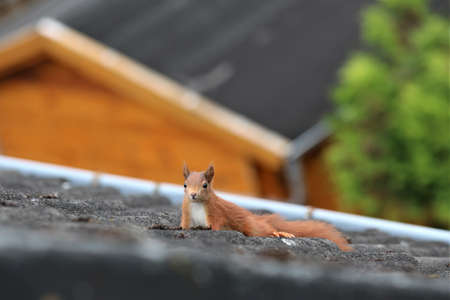 A brown squirrel runs over a black roof