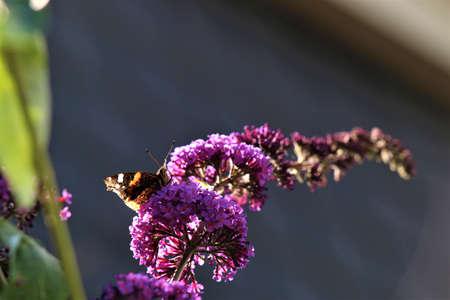 Nymphalidae,Admiral Vanessa atalanta butterfly on a lilac Banco de Imagens