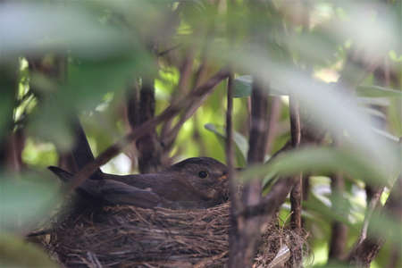 Song thrush brooding on the nest in a rhododendron bush Banco de Imagens
