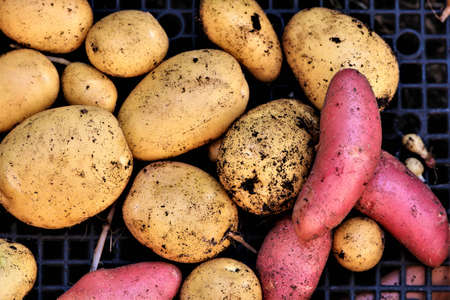 Mixed yellow and red potatoes after harvest Banco de Imagens