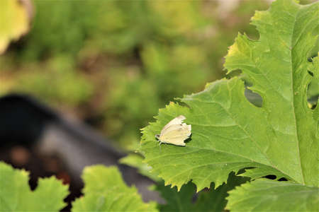 Cabbage white butterfly on a zucchini leaf-pieris brassicae Banco de Imagens