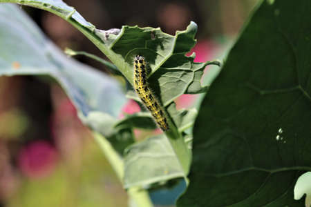 Cabbage caterpillar on a green cabbage leaf