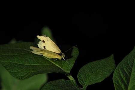 Cabbage white butterfly on a green leaf against a black background