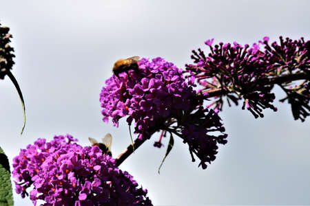 Bumblebee on a summe lilac against the sky