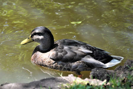 Female mallard duck swims on a lake Banco de Imagens
