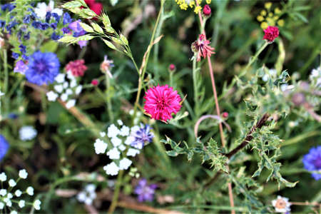 Pink and blue coloured cornflowers in a flower bed