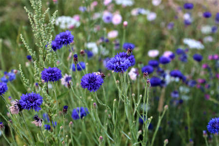Mixed coloured cornflowers in a flower bed