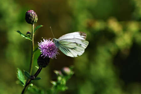 Pieris rapae - little cabbage white butterfly on a thistle Banco de Imagens