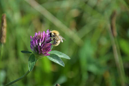 Close up of a bee sucking nectar from a red clover blossom