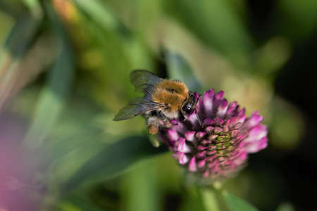 Field bumblebee sucks nectar from a red clover blossom