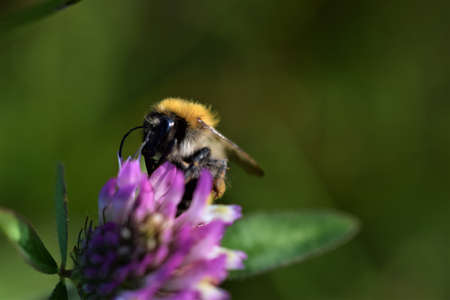 Bumblebee sitting on a red clover blossom against agreen blurry background