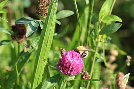 Bee sucks nectar from a red clover blossom