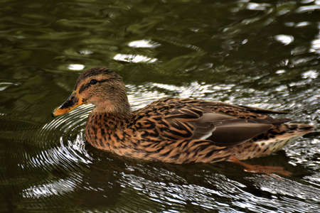 A female brown mallard duck swims on a lake