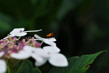 Orange insect with black head and orange black striped legs on white flower leaf