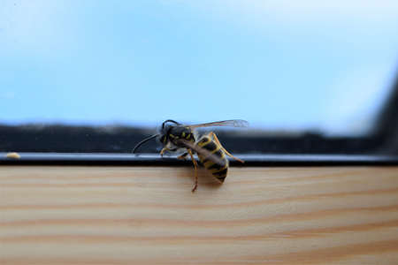 Wasp on the inside of a window frame Banco de Imagens