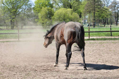 A brown horse shakes the sand out of its fur,standing on a paddock