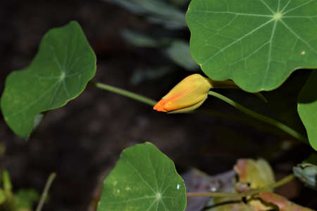Bud of tropaeolum majus, great nasturtium, under a green leaf