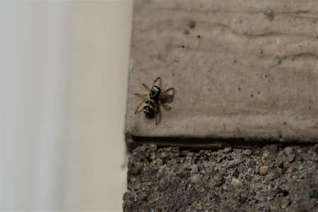 Zebra jumping spider on a beige house wall - salticus scenicusist