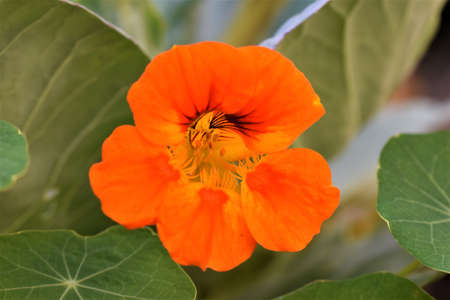 Blossom of tropaeolum majus, great nasturtium, above green leafs Banco de Imagens
