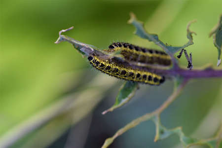 Cabbage caterpillars on a green cabbage leaf