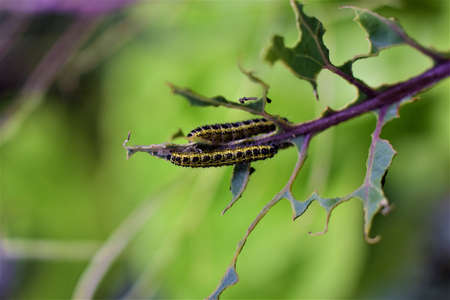 Cabbage caterpillars on a green eaten cabbage leaf Banco de Imagens