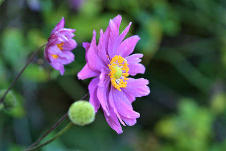 Closeup of the pistil of an autumn anemone in front of a flower Banco de Imagens
