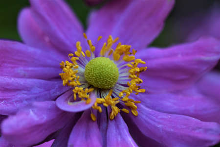 Closeup of an autumn anemone against a green blurried background