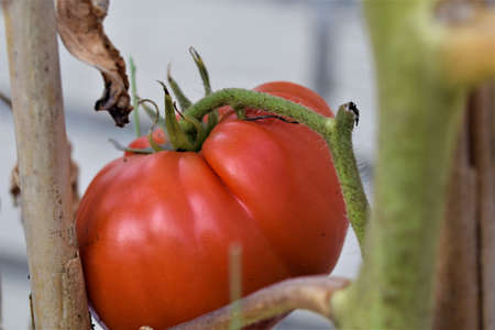 Close-up of a red ripe tomato on a dried stem Banco de Imagens
